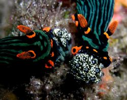 Getting the munchies. Two nudibranchs enjoying a lunch of... by Nick Hobgood 